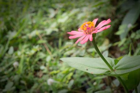 zinnia flower in the garden