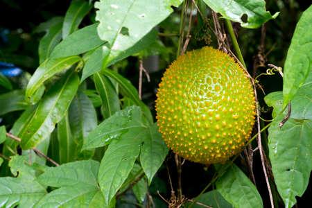 Gac fruit is ripe on the tree. Gac is high in anti-oxidants. Enhance the body immunity