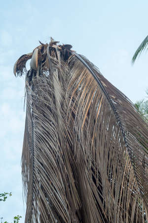 Coconut tree mortality caused by insect damage.