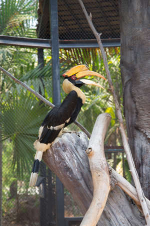 Great hornbill in the zoo. Thailand