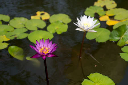 Pink and white lotus in the pond.