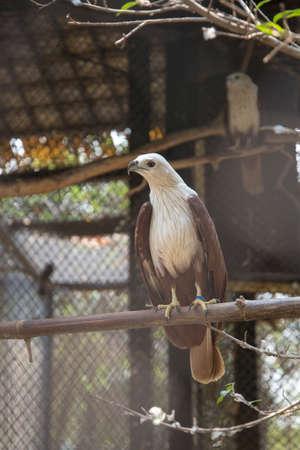 Brahminy kite  in the zoo. Thailand