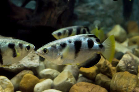 Archer fish or Blowpipe fish (Toxotidae) in aquarium. Wildlife animal.
