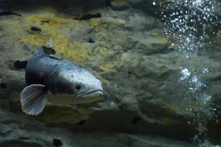 Channa micropeltes fish in aquarium. Wildlife animal.