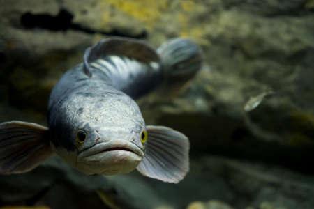 Channa micropeltes Fische im Aquarium. Wildtier.