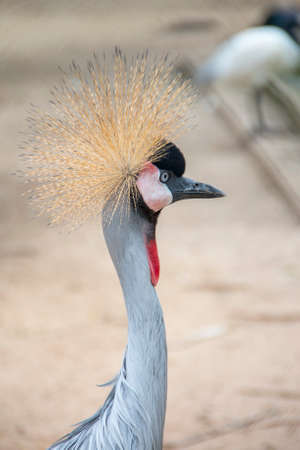 Gray crowned crane in the zoo is a rare species.