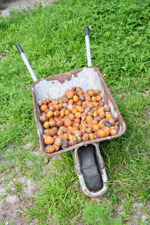 wheelbarrow with Areca nut on a farm