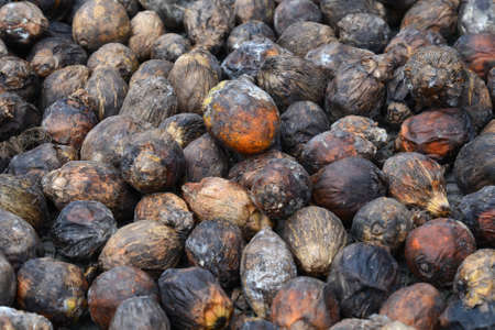 raw betel nut, the benefits of herbal medicine