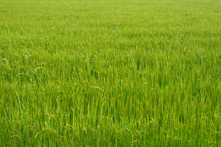 Beautiful green rice fields background. Environment, harvesting. Stock Photo