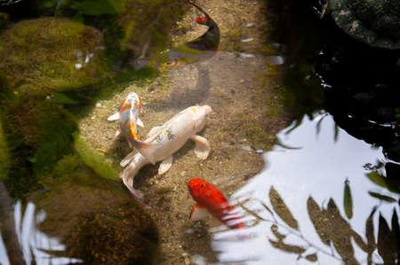 beautiful koi fish swimming in the pond. Fancy Carps Fish or Koi fish.
