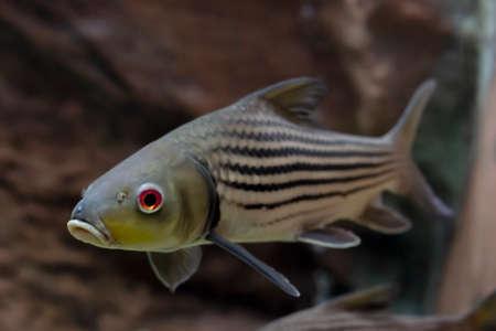 Striped barb (Probarbus jullieni) native fish in Thailand