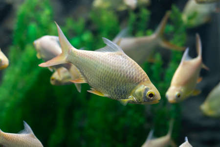 Java barb, Silver barb fish (Barbonymus gonionotus) in aquarium