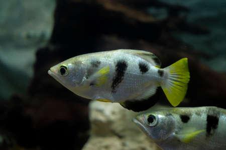Archer fish or Blowpipe fish (Toxotidae) in aquarium. Wildlife animal.