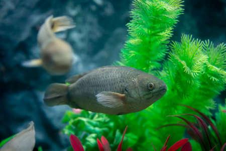 Anabas testudineus in aquarium. Wildlife animal.