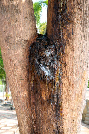 Natural gums on tree bark. Yellow rubber. 스톡 콘텐츠