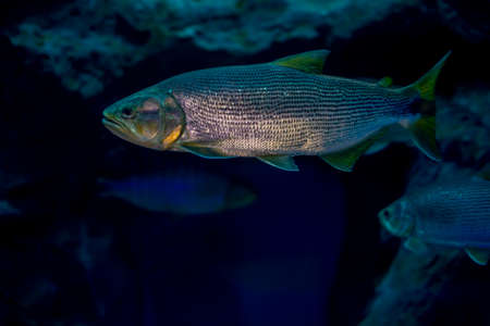 Salminus brasiliensis in aquarium. Wildlife animal. Standard-Bild