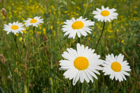 Daisies on a meadow photo