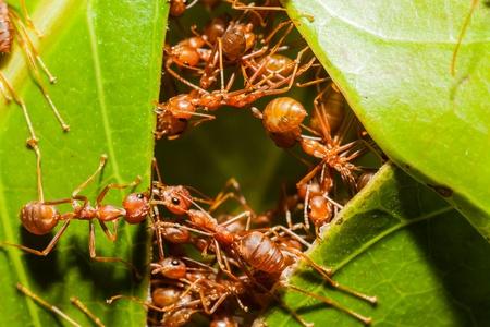 hormiga hoja: hormigas armon�a rojo