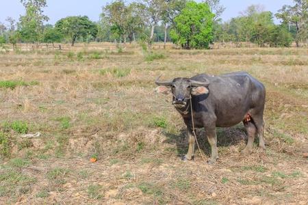 thai buffalo photo