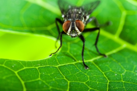 musca: fly on green leaf