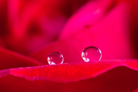 dew drop on rose