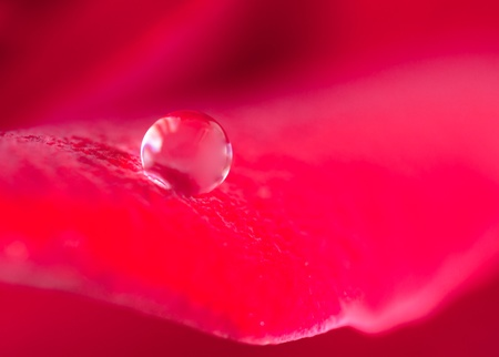dew drop on rose photo