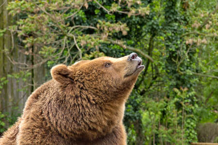Close-up of a Grizzly Bear (Ursus arctos) smelling.