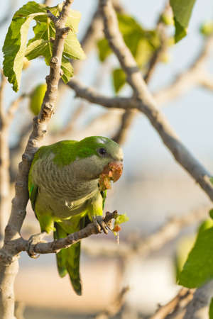 Monk Parakeet eating figs on a branch