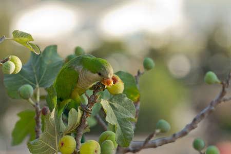 periquito: Monk Parakeet comer higos en una rama