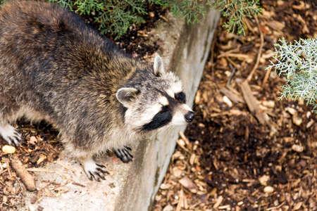 Adult raccoon looking photo