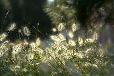 Close-up of Fountain Grass growing in the wild Stock Photo