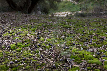 rotting: Ground level view of olives rotting in the countryside