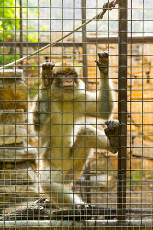 caged: Caged Monkey with sad looking, Long Tailed Macaque