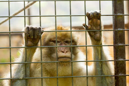 cage gorilla: Closeup of caged Monkey with sad looking, Long Tailed Macaque