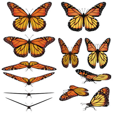 Monarch butterfly in different poses Vector