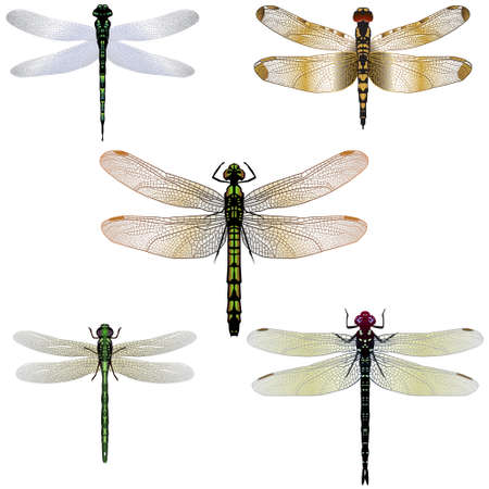 Five dragonfly illustrations Vector