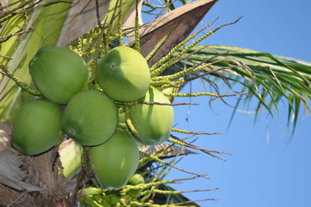 utilized: Coconut is a perennial species The coconut palm is a plant which can be utilized in many ways, such as water and coconut meat is eaten. Meat in the juice and grated to make coconut milk.