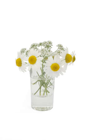 Leucanthemum vulgare and cicuta in a small vase Stock Photo