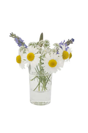 lavandula angustifolia: Leucanthemum vulgare, cicuta and Lavandula angustifolia in a small vase