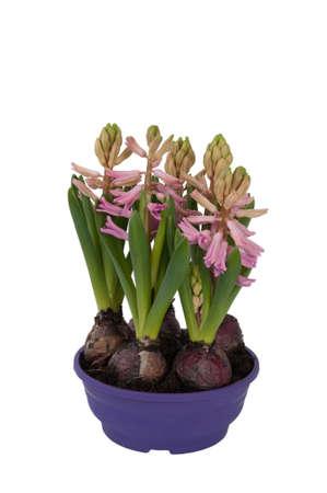 hyacinthus: Bloom Jacinto bulbo en una maceta (vista frontal)