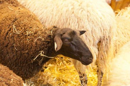 PARIS - FEBRUARY 26: The Paris International Agricultural Show 2012 -  Speech on the wolf: The Paris International Agricultural Show 2012 -  black sheep