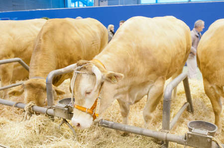 PARIS - FEBRUARY 26: The Paris International Agricultural Show 2012 -  Blonde of Aquitaine Cow