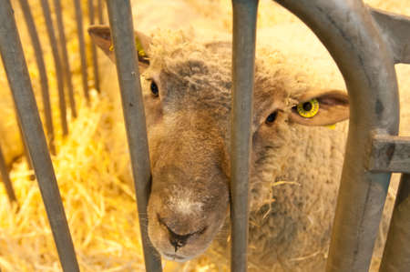 PARIS - FEBRUARY 26: The Paris International Agricultural Show 2012 -  Sad Sheep