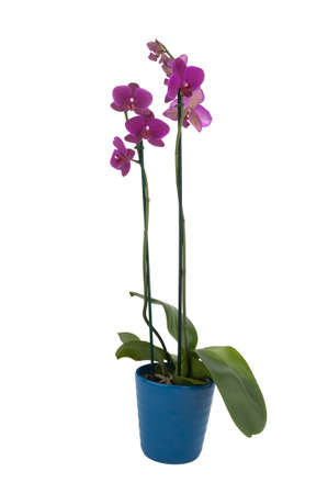 phalaenopsis flowers in a pot  full view
