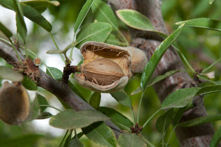 Almond in its tree Stock Photo