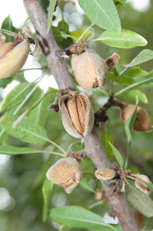 Almond in its tree  2