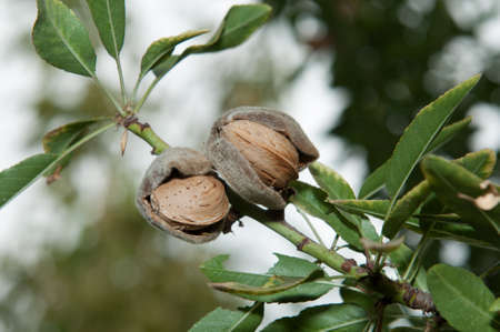 Almond in its tree  4  Stock Photo