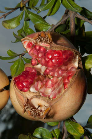 punica granatum: Opened Punica granatum in its tree