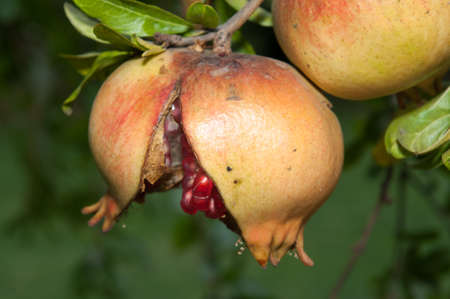 Opened Punica granatum in its tree  front view