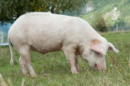 siembra: Primer plano sobre la alimentaci�n de cerdos